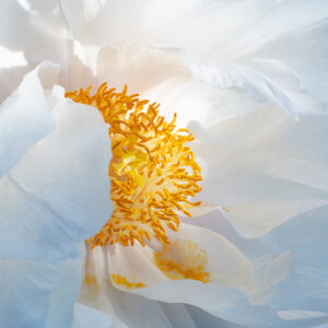 A Close Up Image Of The Centre Of A White Flower. The Middle Is Yellow And Powdery. The Image Shows The Detailed Textures Of The Flower's Petals.