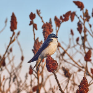 An Image Of A Bird With Blue And White Feathers. The Bird Is Sitting On The Brown-red Tip Of A Plant. The Sky In The Background Is Light Blue.