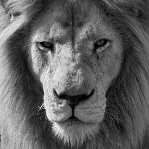A Portrait Of The Face Of A Lion In Black And White. The Framing Cuts Off The Shot At The Lion's Ears, And We See Part Of It's Mane. The Lion Is Looking Directly At The Camera.