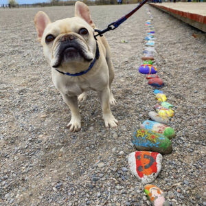 A Photo Of A French Bulldog Down On Woodbine Beach Next To The Rock Snake. The Bulldog Is Beige In Colour.